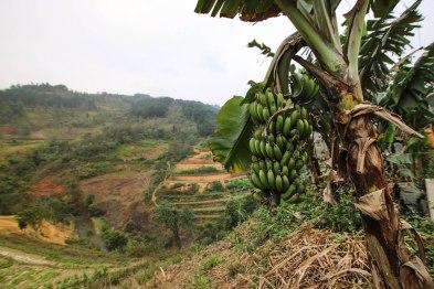 Banana and paddies