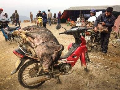 Live pig on a bike