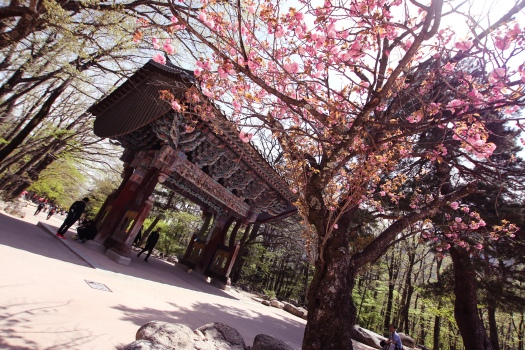 Sakura by the entrance pavilion