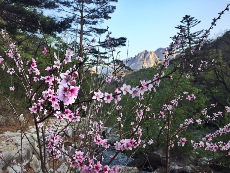 Sakura view of the mountain range